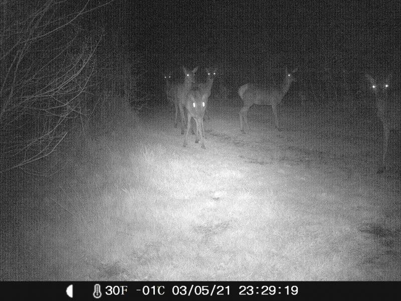Kronvildt ses i skoven uden for hegnet