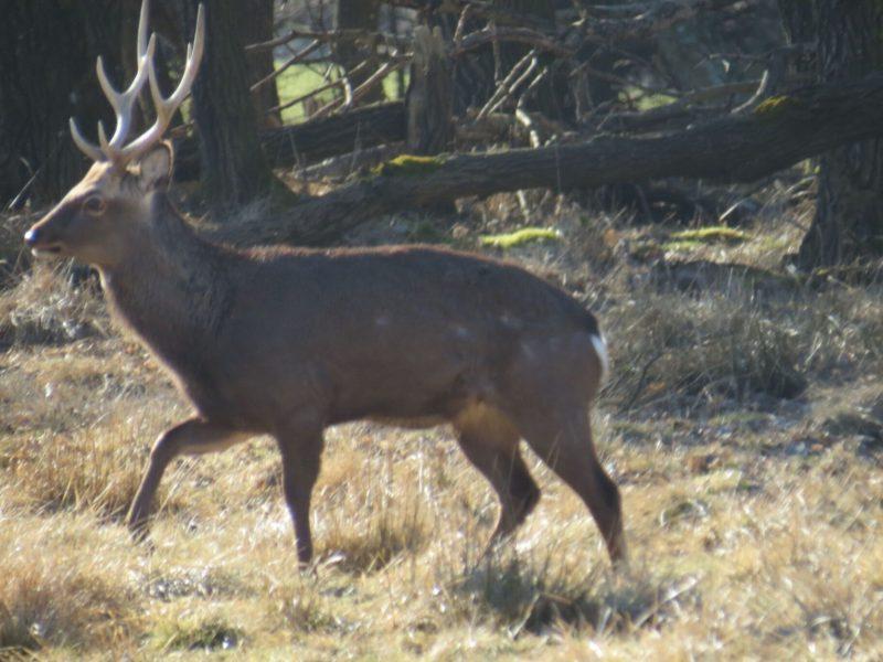 Den aktuelle bestand af sika er 3 dyr - 2 hjorte og en hind.